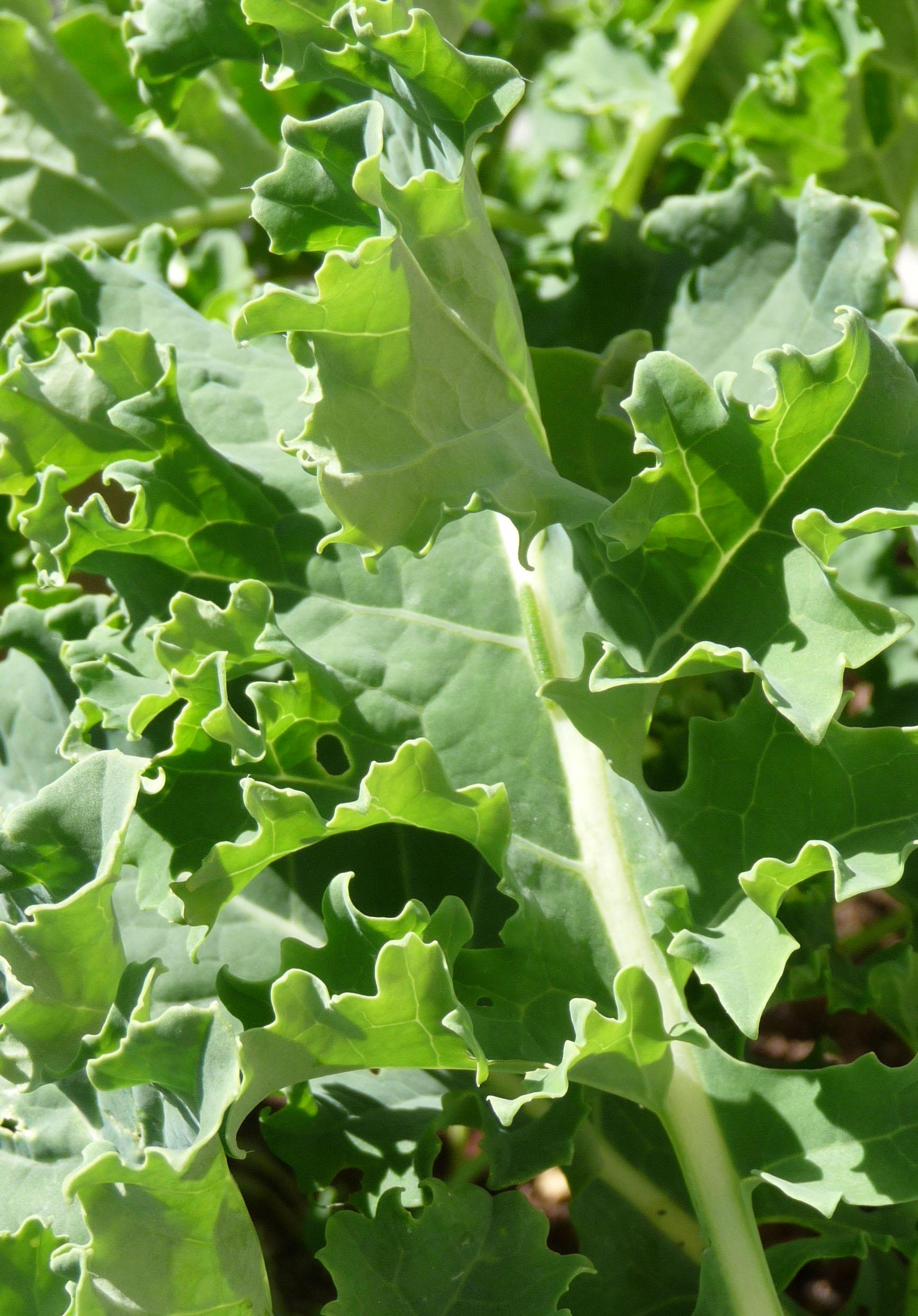 Kale Leaves (c) jfhaugen